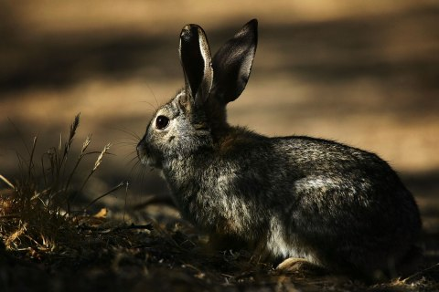 image: A desert cottontail rabbit forages near a desert marsh in Morongo Valley, Calif., April 11, 2007.