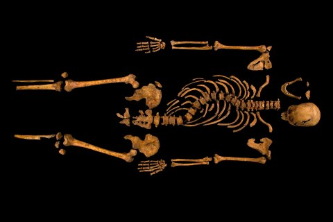 The skeleton of Richard III, which was discovered at the Grey Friars excavation site in Leicester, central England, Feb. 4, 2013.