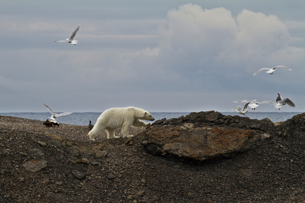 Polar Bear Invades Bird Colony IV, Svalbard, June 2010 Lack of sea ice means that bird colonies are at risk of invasion and devastation of an entire generation of eggs by one hungry bear in less than a few hours.