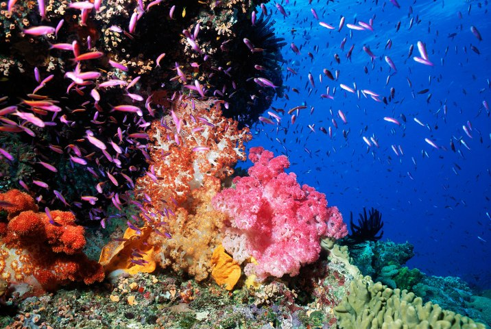 Fish of several different species swim around a Pixie Pinnacle with colorful Soft Coral and Anthias.