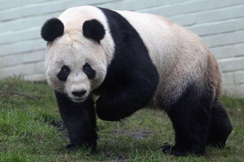 Tian Tian the female panda