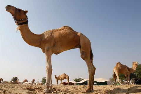 qatar_camals_1128