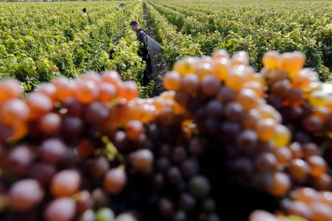 Grapes are seen at the the Chateau Luchey-Halde vineyard in Merignac