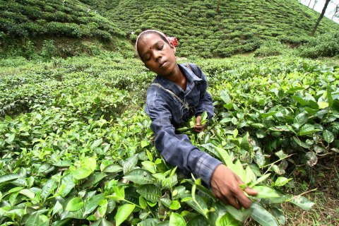 A worker plucks tea leaves at the Amchong tea estate in the northeastern Indian state of Assam, on July 11, 2012.
