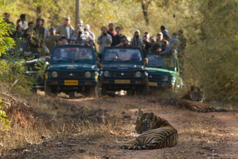 Tourists photograph tigers in Bandhavgarh Tiger Reserve.