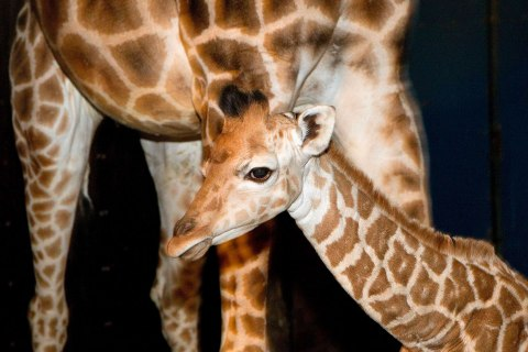 Young giraffe is seen at the Danish Jyllands Park Zoo