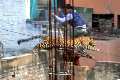 INDIA-ENVIRONMENT-WILDLIFE-LEOPARD