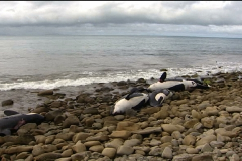 New Zealand: Orcas Die In Mass Stranding