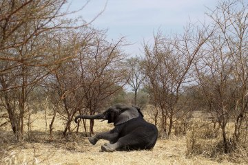A collared elephant, darted at the Zakouma National Park on Feb. 23, 2014 during a collaring operation aimed at preserving elephants in the park, gets up after the effect of the drug has evaporated. Once sedated the elephant is fitted with a radio collar that will in the future relay its position, increasing the chances to protect him against poachers.