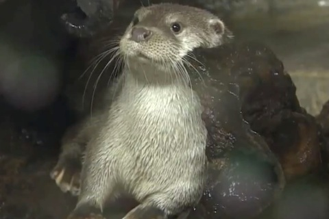 adorable otter used to predict olympic outcomes