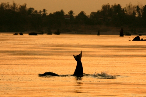 An Irrawaddy dolphin, also known as the Mekong dolphin, swims in the river at the Kampi village in Kratie province
